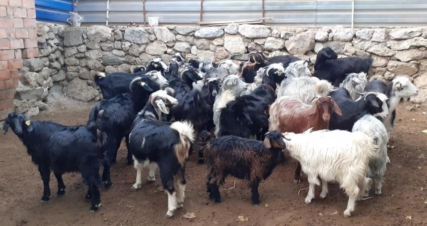 Osmancık hayvan pazarı küçükbaş hayvanlara kapatıldı