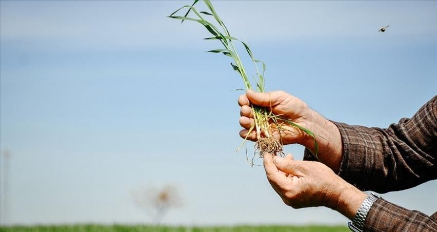 Mayıs sonu yağışları buğday rekoltesi için önem taşıyor