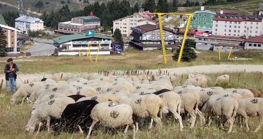 Koyunların 'Beyaz Cennet' keyfi!