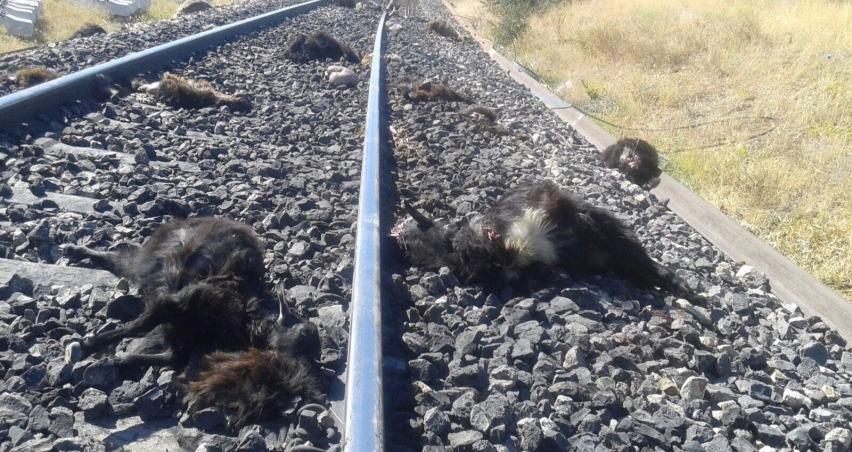 Trenin çarptığı 90 keçi telef oldu