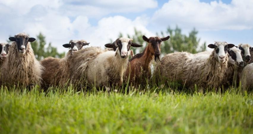 Koyun-Keçi yetiştiricilerine müjde