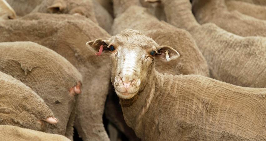 Yeni Zelanda'da koyunlara hastalık nedeniyle ötenazi yapıldı