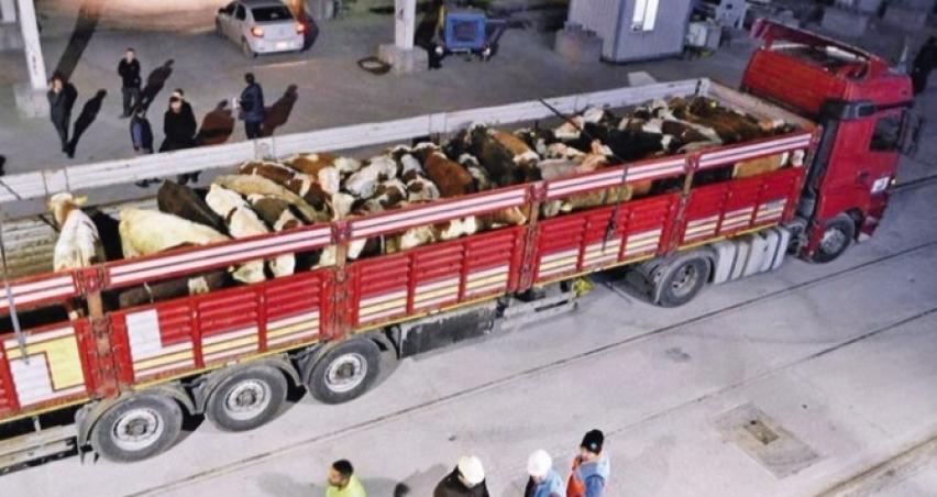 Devlet, kilosu 3.95 dolara besilik sığır ithal edecek