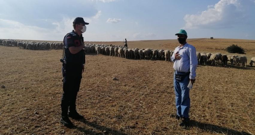 Kaybolan 55 koyun, drone ile bulundu