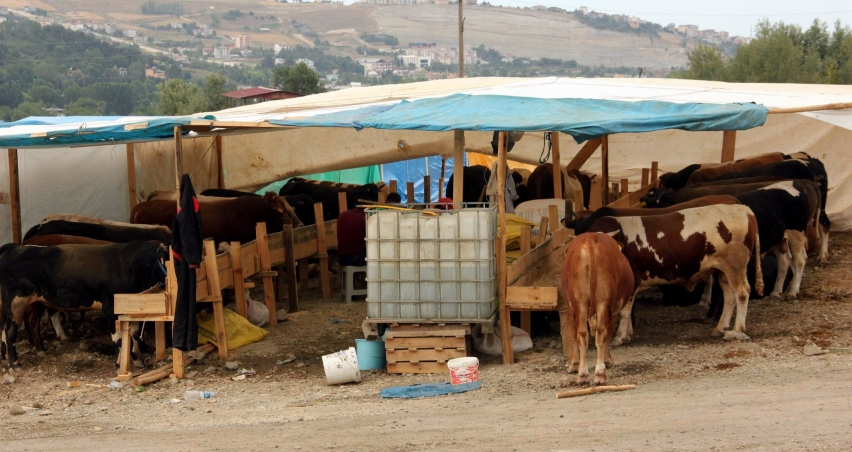 Samsun'da kurbanlık hayvanlar görücüye çıktı