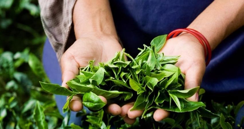 Çaykur 178 bin ton yaş çay aldı