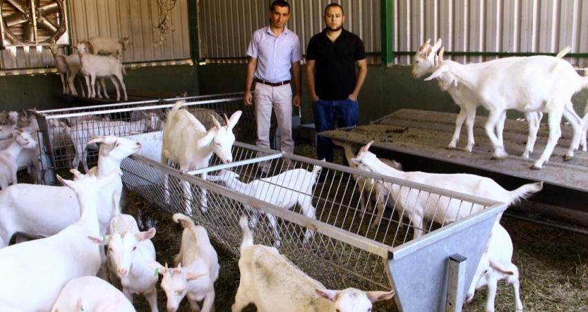 1 ton süt veren keçiler!