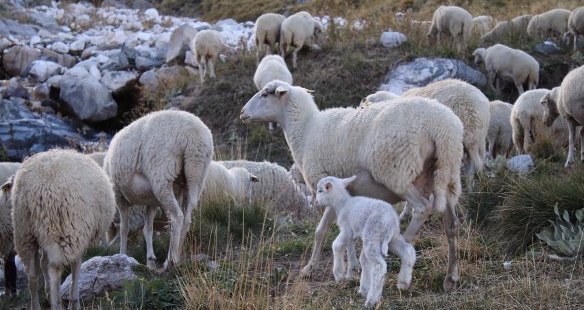 Uludağ'da koyunların kampı sona erdi