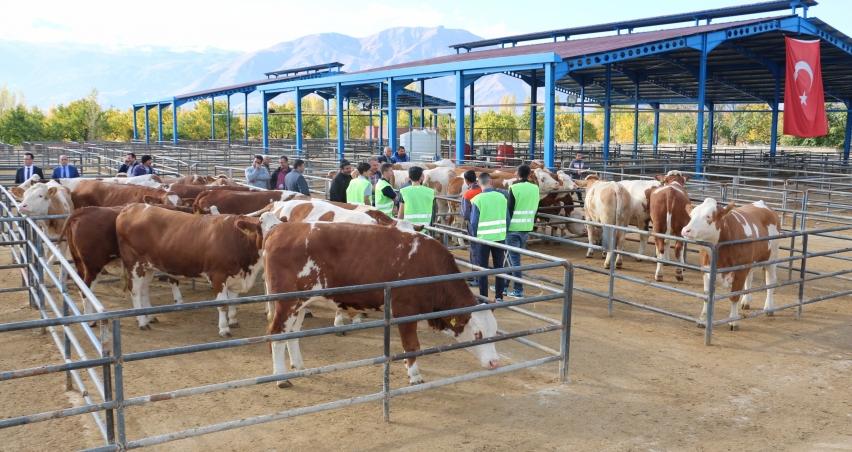 Süt parası karşılığında inek dağıtılıyor