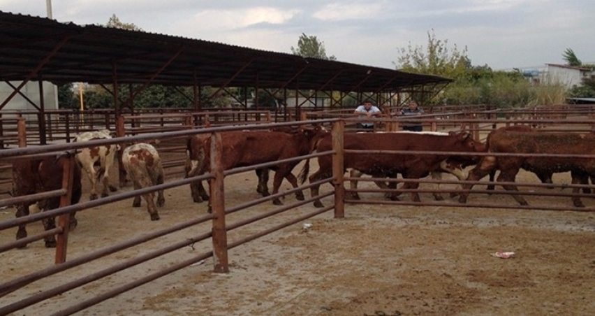 Yüzde 50 hibeli hayvan alımına başvuru koşulları